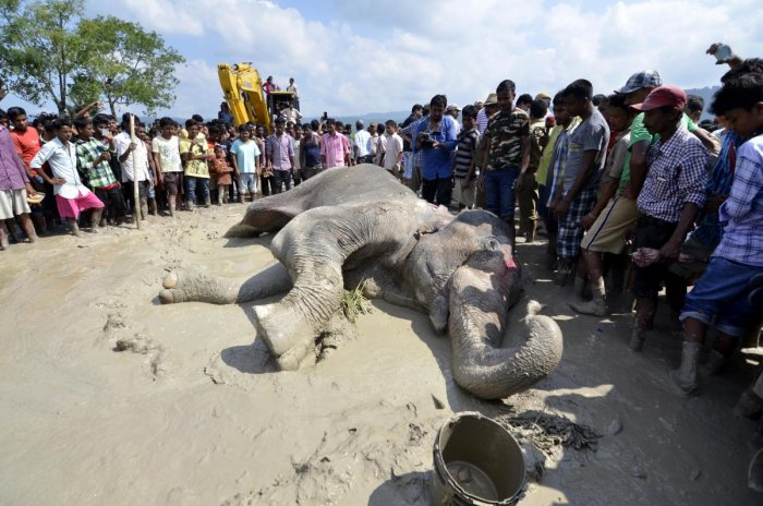 Forest officals use a crane to remove a injured wild elephant to the Centre for Wildlife Rehabilitation and Conservation (CWRC) who according to forest officials was shot at and injured by suspected poachers, near a paddy field at Sapanala in Nagaon distr