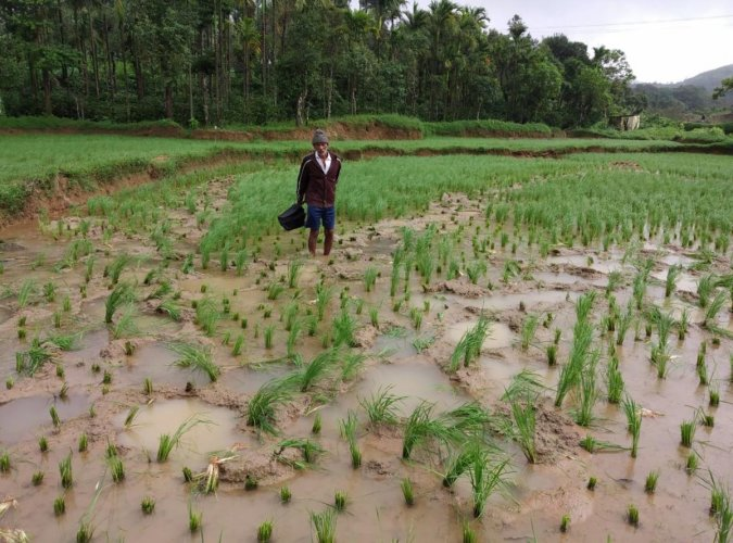 The damaged paddy crop at Moolarahalli in Mudigere taluk. DH photo