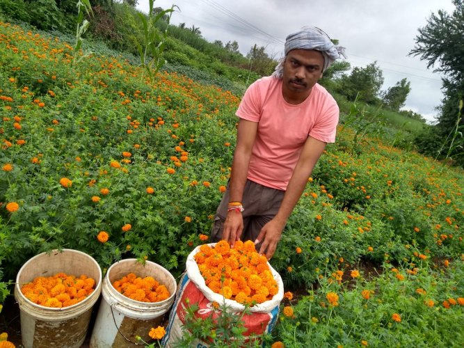 Anand Nerli hires helpers to harvest marigolds twice a week, transports and sells them to the Mumbai Flower Market.