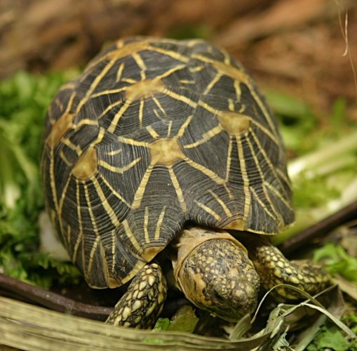The Indian star tortoise is one of the most trafficked tortoise species in the world.