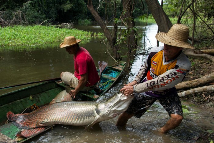 Villager Diomesio Coelho Antunes (R) from the Rumao Island community drags from his canoe an arapaima or pirarucu, the largest freshwater fish species in South America and one of the largest in the world. (Photo by Reuters)