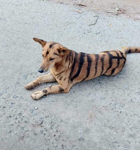 A dog painted with tiger stripes at Heggodu village in Shivamogga.