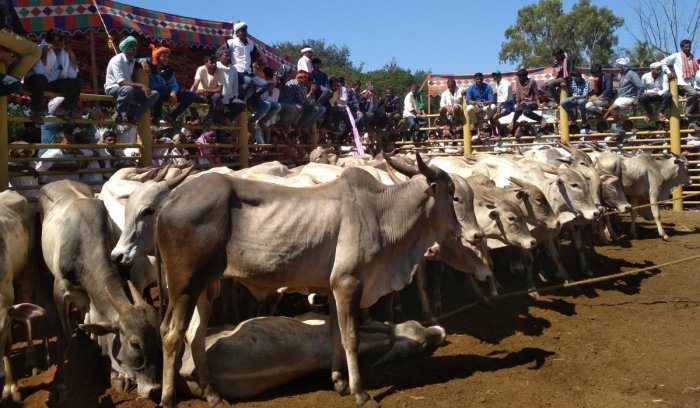 Amrit Mahal cattle that were auctioned in Birur.