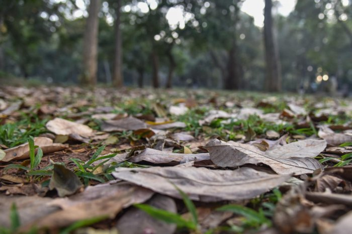 During winter session leaves are felled down, Dry leaves spread on the ground looks like dry bed, at Sri Chamarajendra Park (Cubbon park) in Bengaluru. (Photo by S K Dinesh)