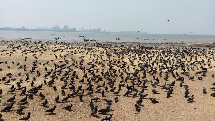 Pigeons at Mumbai's Girgaum Chowpatty. PHOTOS BY AUTHOR