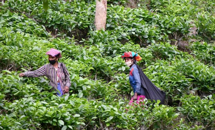 Tea garden workers follow social distancing guidelines while working in a tea estate, during ongoing COVID-19 lockdown, on the outskirts of Dharmanagar in Tripura. (PTI Photo)