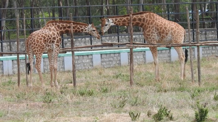Four-year-old giraffe Gowri at the Bannerghatta Biological Park was united with Yadunandan, a one-and-half-year-old giraffe from Mysuru zoo on Friday. Special arrangement
