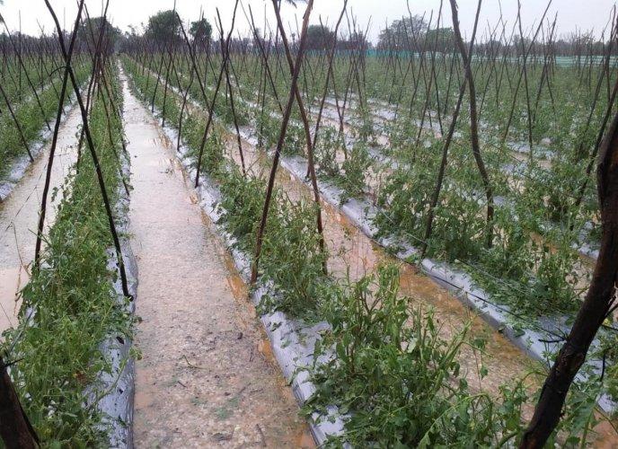 Heavy rains inundated a field in Kolar district.