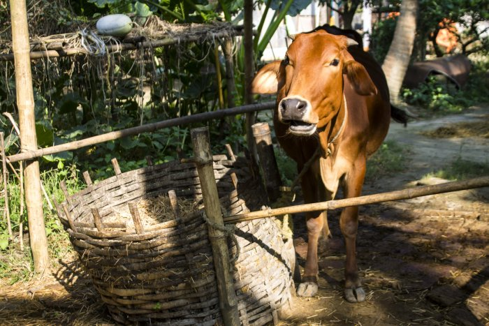 Haripriya also claimed that the economy of Bangladesh has strengthened on the back of smuggled cows from India, primarily Assam. Representative image: iStock Photo