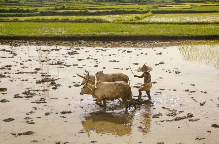 A farmer prepares his field for paddy crop after monsoon rains at Odgoan, in Nayagarh district of Odisha. PTI file photo