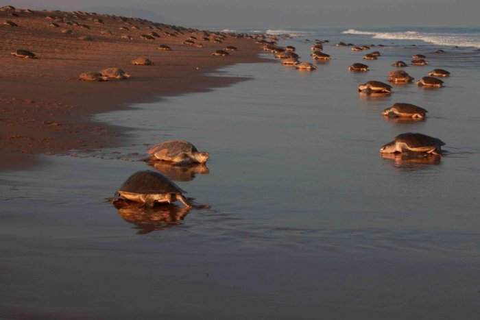 Is it not a step forward when the plastic we cleared off the sands allows olive ridley turtles to hatch on the beach?