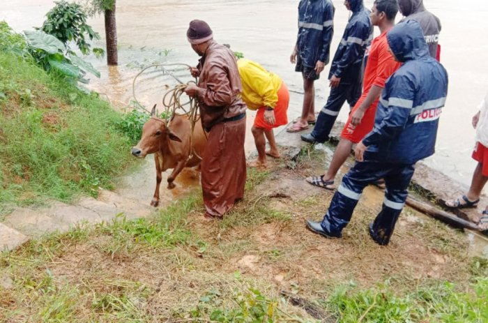 Cattle being rescued by the rescue personnel at a village in Kodagu district.