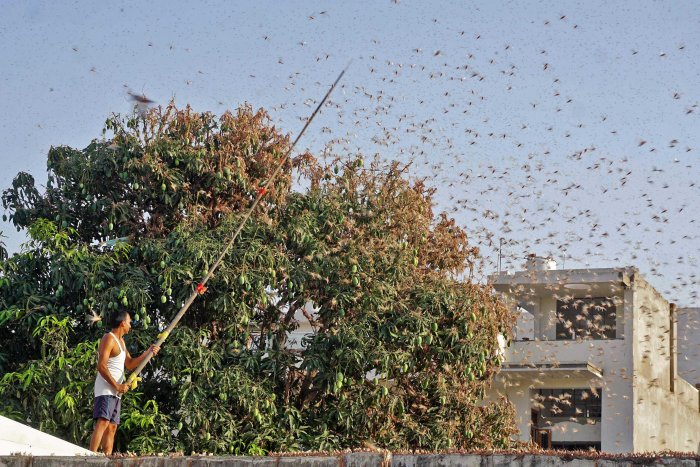 a resident tries to fend off swarms of locusts from a mango tree in a residential area of Jaipur. (AFP photo)