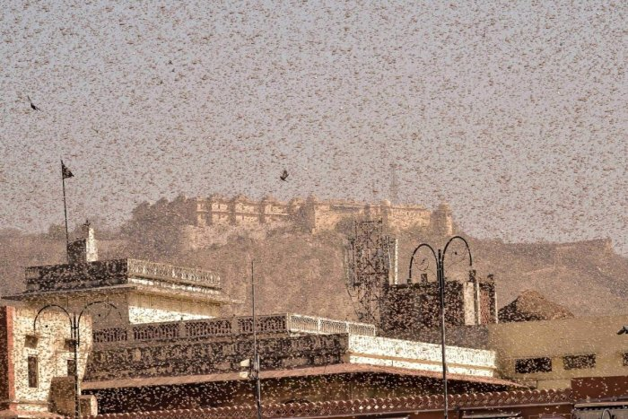 Swarms of locust in the walled city of Jaipur, Rajasthan. (PTI file photo)