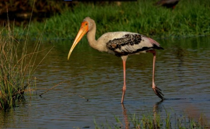 Painted Stork. Credit: 100 Common Birds In India e-book/Vedant Kasambe