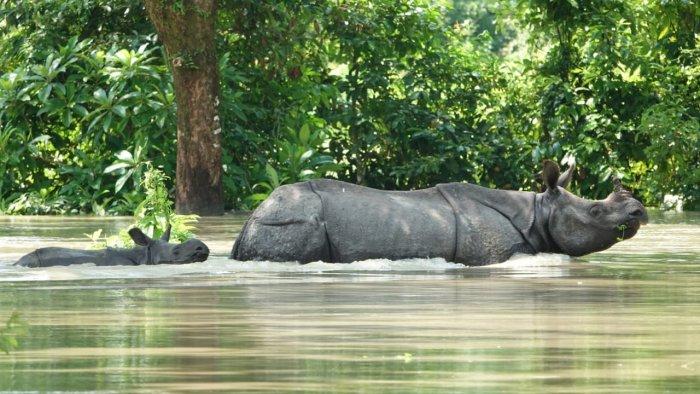 Rhinos in flood-hit Kaziranga National Park. Credit: KNP