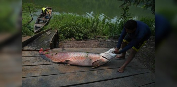 Almost a third of the fish in the Brazilian state of Amapá have dangerous mercury levels for human consumption due to illegal mining activities in that Amazon region. Credit: AFP