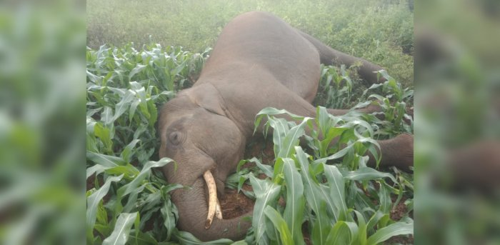 A male elephant was found dead in a maize field. DH Photo