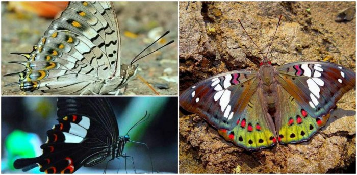 Credit: Photos from 'Finding the forgotten gems: Revisiting the butterflies of Matheran after 125 years'