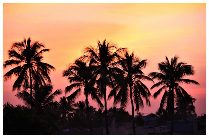Coconut trees at sunset. PHOTOS BY AUTHOR