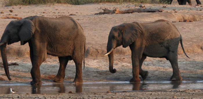 Zimbabwe Finds 10 More Dead Elephants Suspects Bacteria Deccan Herald Search more hd transparent elephant image on kindpng. zimbabwe finds 10 more dead elephants