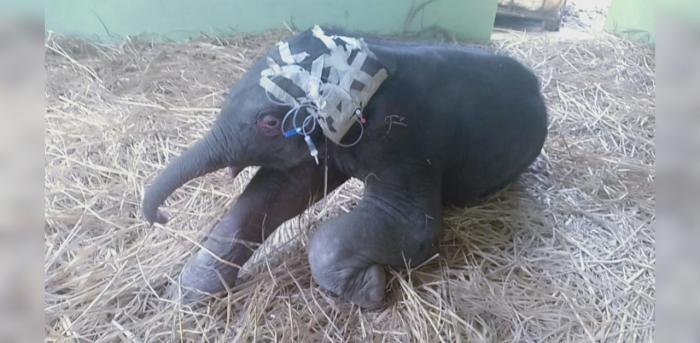 Sources in the Forest Department (wildlife wing) Shivamogga Division stated that the baby elephant was born with congenital limb defects last week in the coffee estate area in Sakleshpur taluk.