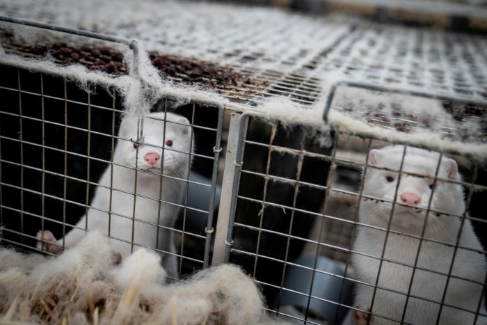 Mink are seen at the farm of Henrik Nordgaard Hansen and Ann-Mona Kulsoe Larsen near Naestved, Denmark. Credit: Reuters