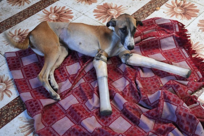Rocky, a female dog who lost her front legs in a train accident, rests at the People For Animal Trust in Faridabad on November 17, 2020. - A street dog that had its front legs after being run over by a train in northern India has found a new home in Britain after enduring a year of surgeries and learning to walk again with new prosthetics. Credit: AFP Photo