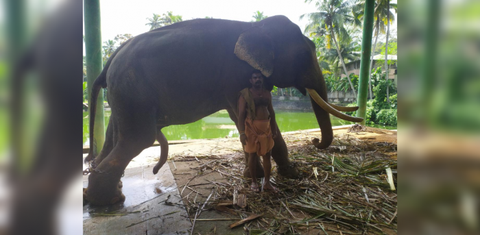 Sree Vallabhan's mahout for the past eight years said the elephant's overgrown tusks are affecting his comfort and is not able to take coconut leaves which is one of its feed. Credit: DH Photo