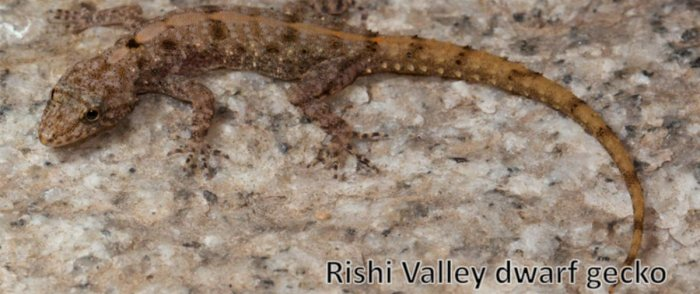 Rishi Valley Dwarf Gecko