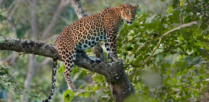 Leopard attack in UP. Credit: File Photo