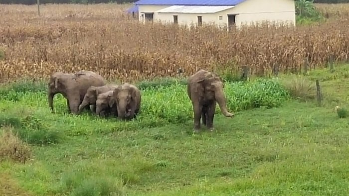 The farmers are also informed whenever the movement of elephants is tracked, in order to alert them. Credit: DH File Photo