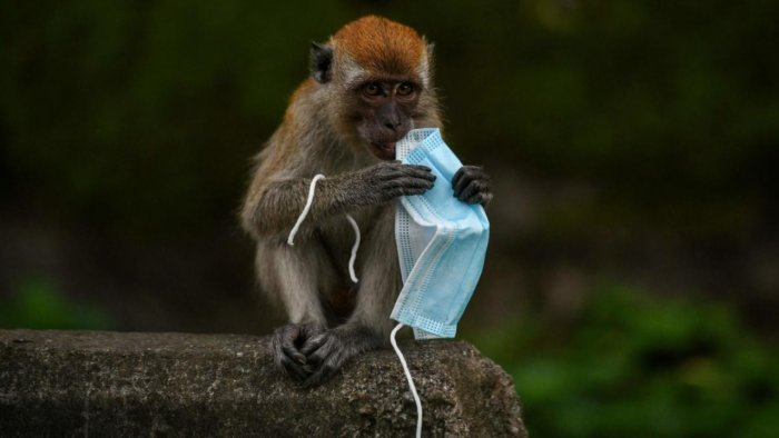 This picture taken on October 30, 2020 shows a macaque monkey playing with a face mask, used as a preventive measure against the spread of the Covid-19 coronavirus, in Genting Sempah in Malaysia's Pahang state. Credit: AFP.