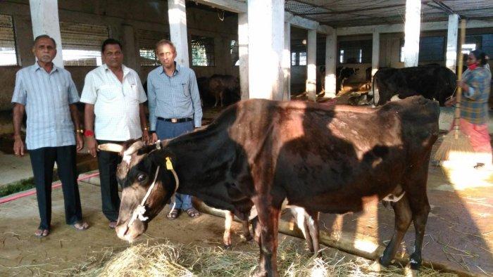 Mysore Pinjrapole Society Chairman P Umedraj Singhvi, vice-chairman B Hansraj Pagariya and secretary P Mahaveer Chand Sankala with a recuperating cow at Mysore Pinjrapole Society. DH Photo/T R Sathish Kumar