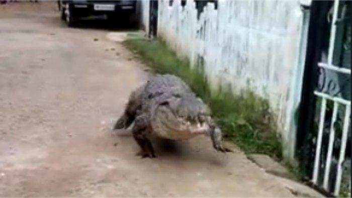 Crocodile that entered the village. Credit: Special Arrangement