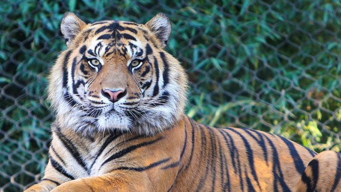 Big cats and other vulnerable animals such as gorillas have been infected at zoos in the US and elsewhere. Credit: iStock Photo