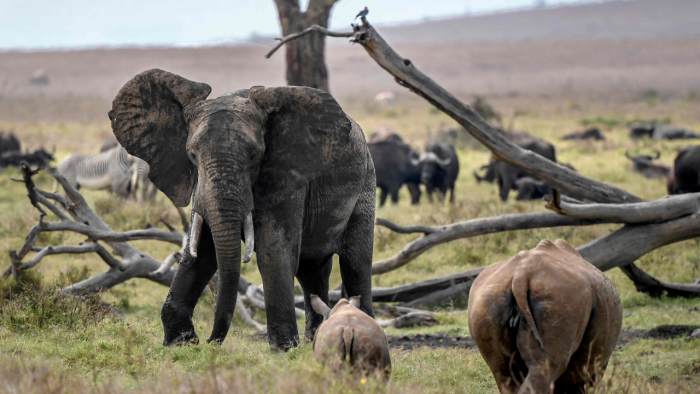 African savanna elephants have been particularly hard-hit, with their numbers plunging by at least 60 percent during the last half-century. Credit: AFP Photo