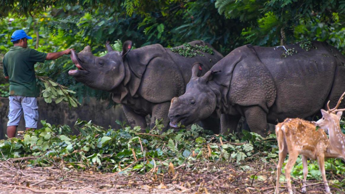 A zookeeper Govinda feeds a pair of one horn rhino inside the enclosure at Assam State Zoo in Guwahati. Credit: PTI Photo