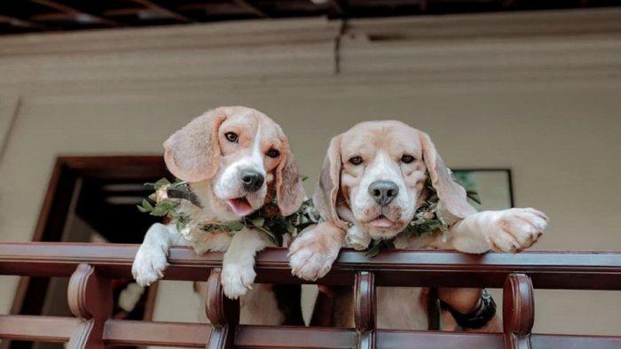 Both bride Jaanvi and bridegroom Acid are Beagles. Credit: Special Arrangement