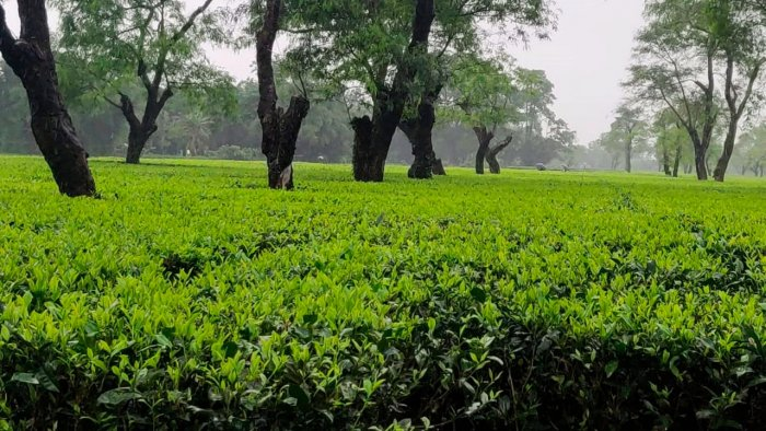 Assam contributes over 52 per centof tea produced in the country annually. Credit: AFP File Photo
