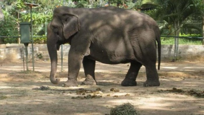 Gange attracted elephants during khedda operations. Credit: DH File Photo