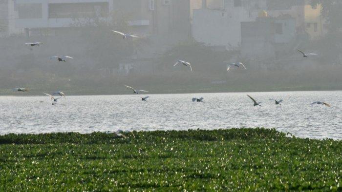 Researchers surveyed some 56 lakes in a radius of 32 kilometres from Halasuru Lake. The picture is of Madiwala Lake, South Bengaluru. Credit: DH File Photo/Janardhan B K