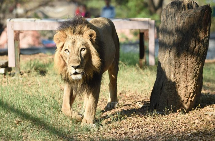 The Gir National Park currently houses more than 600 Asiatic lions. AFP file photo
