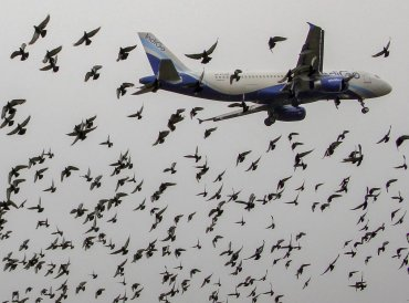 Birds fly around a landing Indigo aircraft near Biju Patnaik International Airport, in Bhubaneswar on Monday, June 25, 2018. PTI