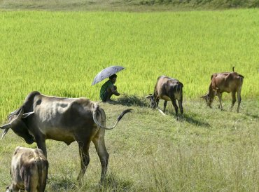 A man herds his cattle near a paddy field on the outskirts of Ranchi. PTI