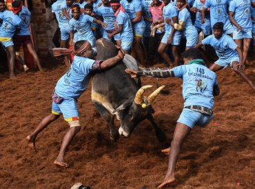 Participants try to tame a bull during Jallikattu event at Alanganallur, in Madurai district. PTI photo