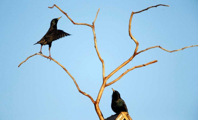 Starlings are seen at their nesting box in a private garden
