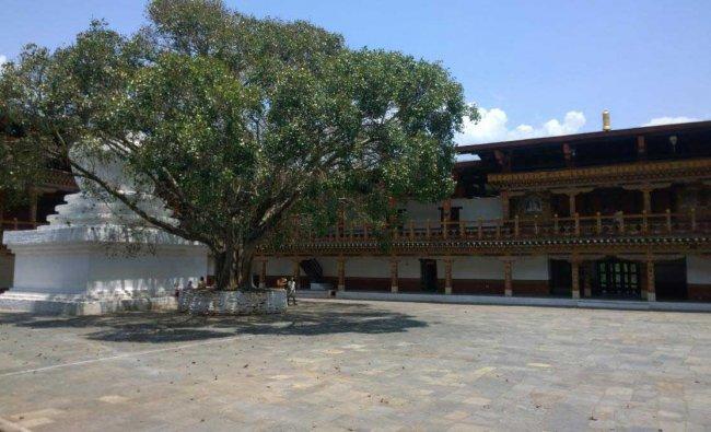 The Bodhi tree at Punakha Dzong