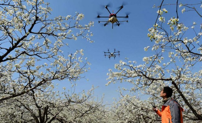 A worker looks on as drones are used to pollinate pear blossoms at a pear farm in Cangzhou, Hebei province, China