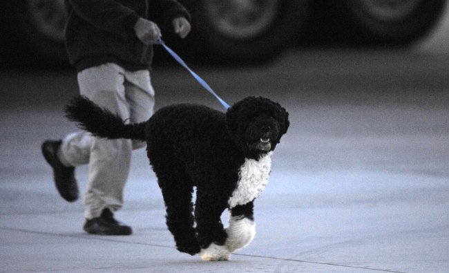 First dog Bo runs on the tarmac after arriving aboard Air Force One with President Barack Obama